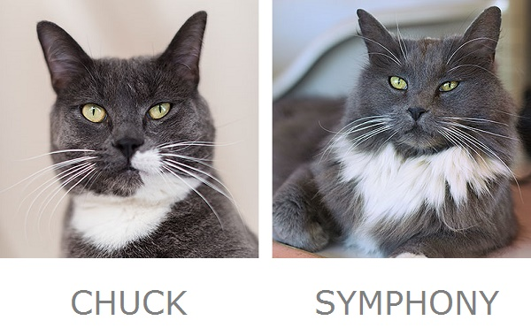Chuck & Symphony Adoptable Cats from Best Friends Animal Sanctuary