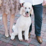 white Standard poodle with red bows