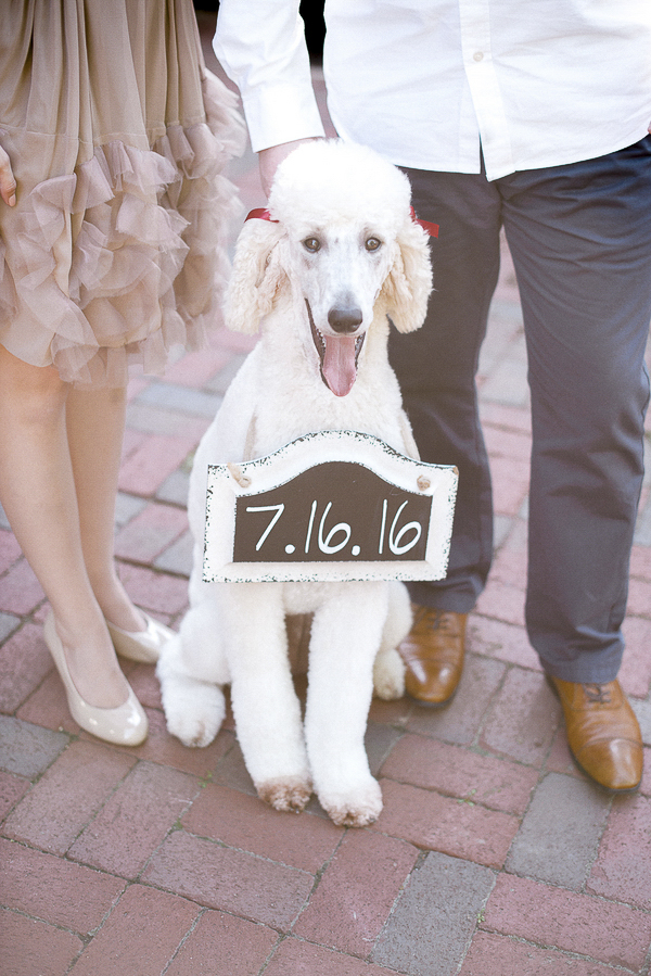 White Standard Poodle holding save the date sign