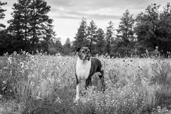 senior boxer mix in meadow