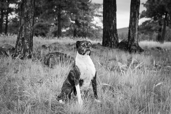 mixed breed sitting in clearing, Flagstaff-dog-photography
