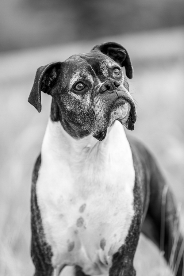close up of senior Boxer Mix in black white, Flagstaff-dog-photography