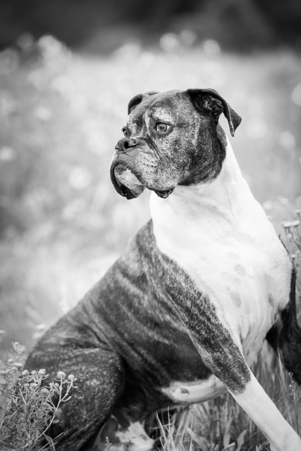 handsome old dog, Flagstaff dog portraits