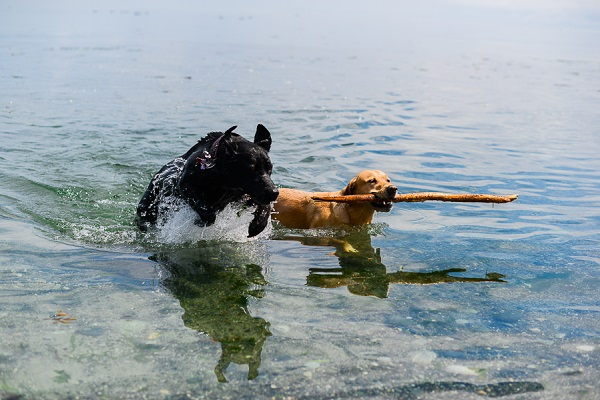 __Nunn_Other_Photography Retrievers playing in water