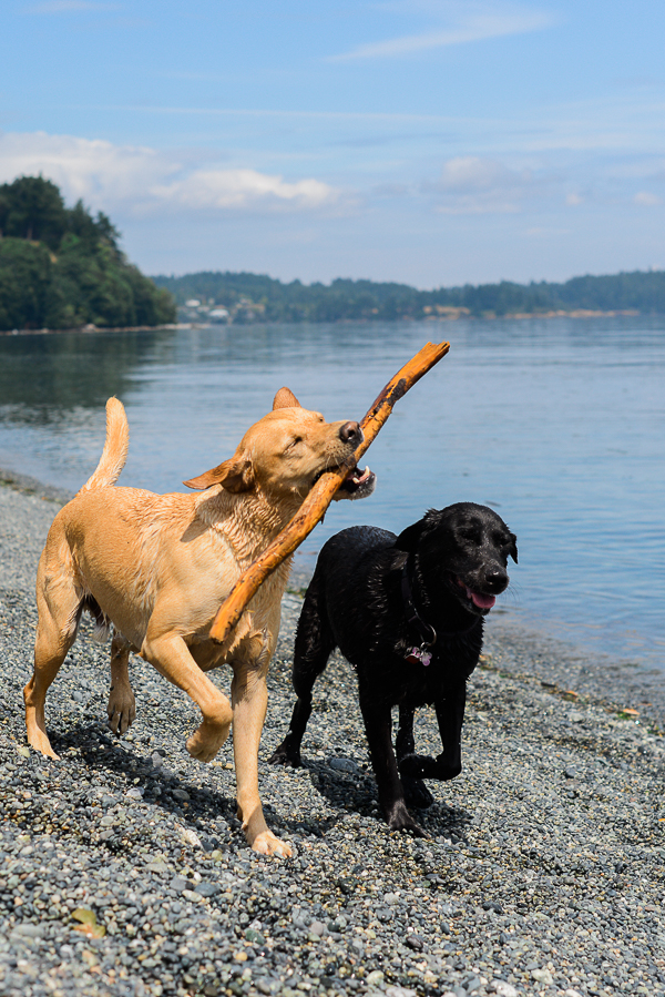 __Nunn_Other_Photography_dogs at the beach, Retrievers fetching