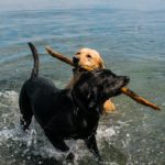 __Nunn_Other_Photography_retrievers with stick at beach