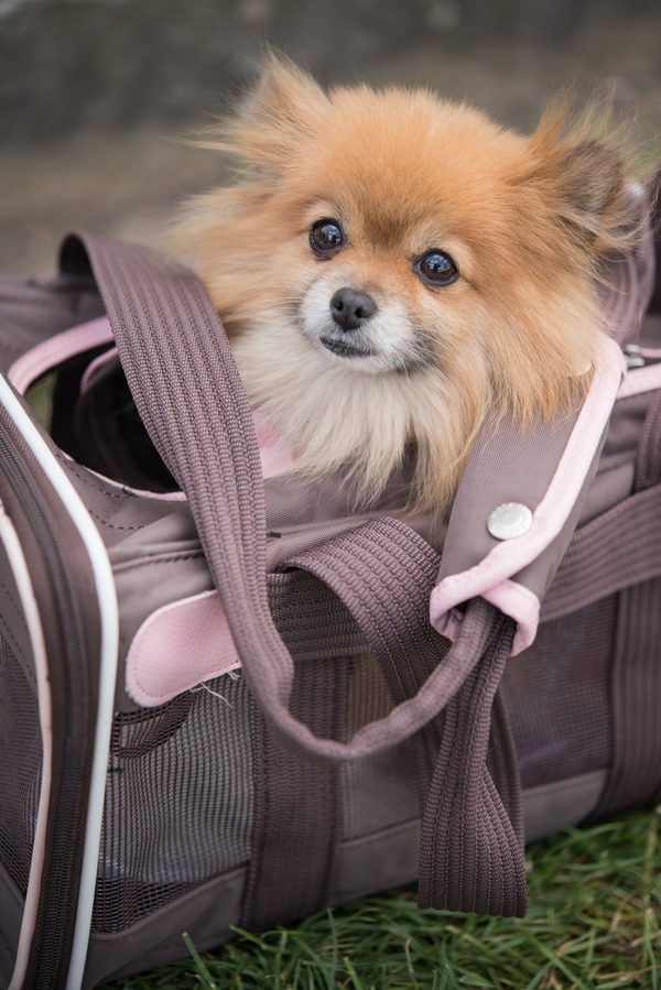 © Pictours Paris, on location dog portraits, traveling Pomeranian in carrier
