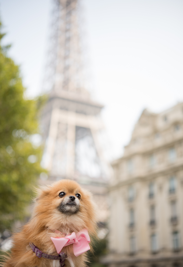 Pomeranian, Eiffell Tower, Paris Pet Photography