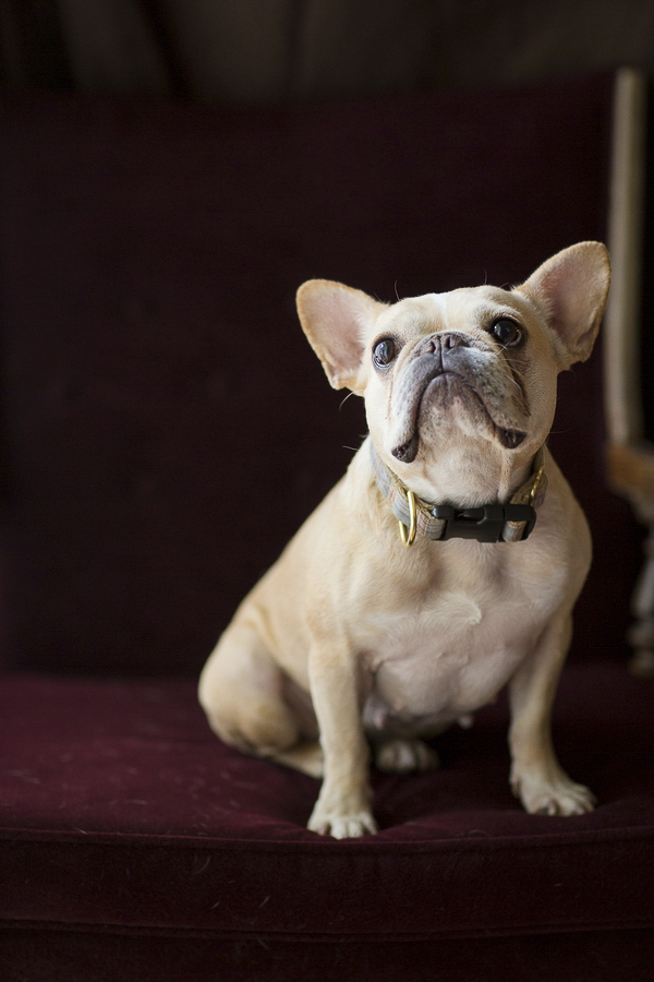 Rachael Hall Photography French Bulldog portraits, studio dog photography