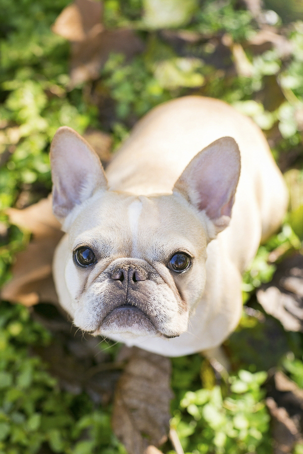 French Bulldog sitting outside