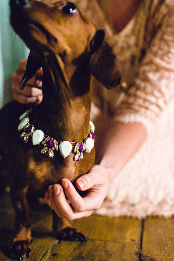 Doxie wearing fancy necklace for wedding