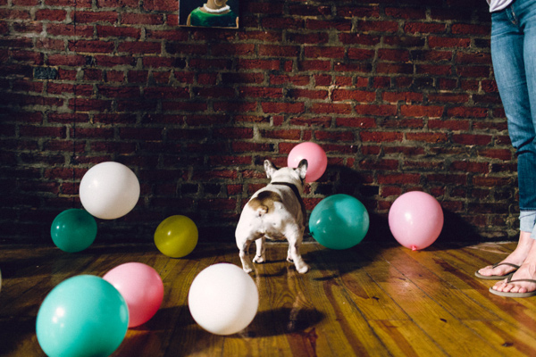 Frenchie chasing balloons, ©Danfredo  Doxie wedding