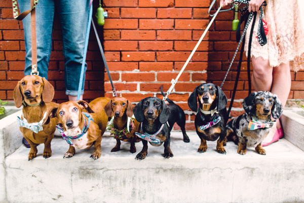 wiener bridal party, doxie wedding