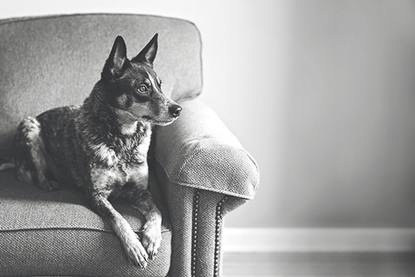 Amanda Ellis Photography black, white photo Australian Cattle Dog on sofa looking out window