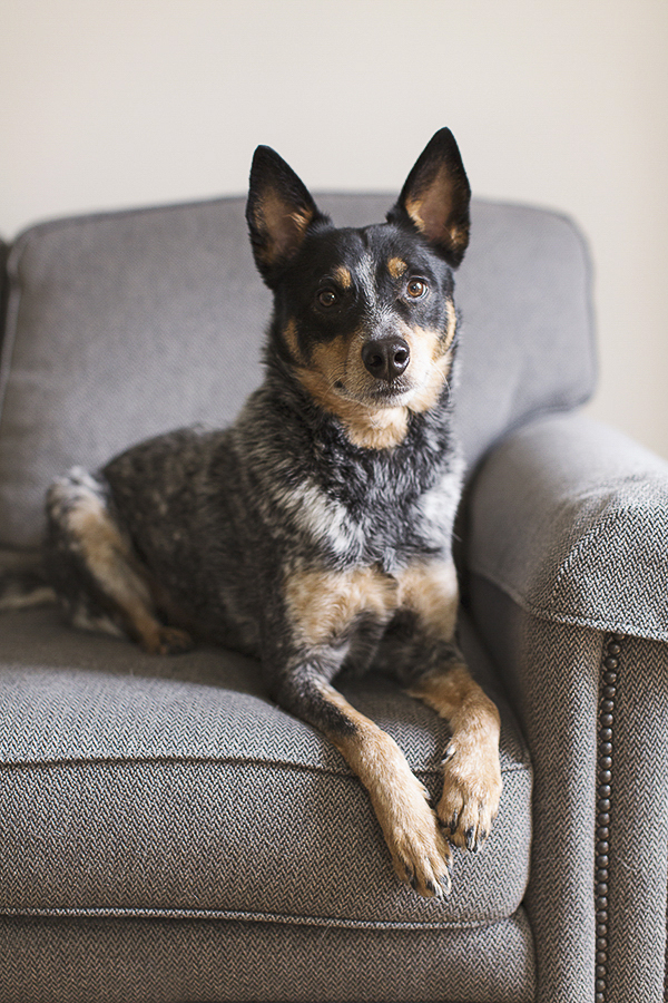 Amanda Ellis Photography Austrailian Cattle Dog, dogs-on-furniture