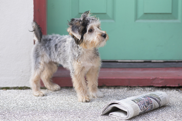 Havashire puppy, newspaper, teal door