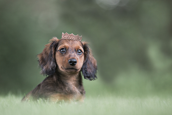 Puppy Love:  Finnegan the Dachshund Puppy
