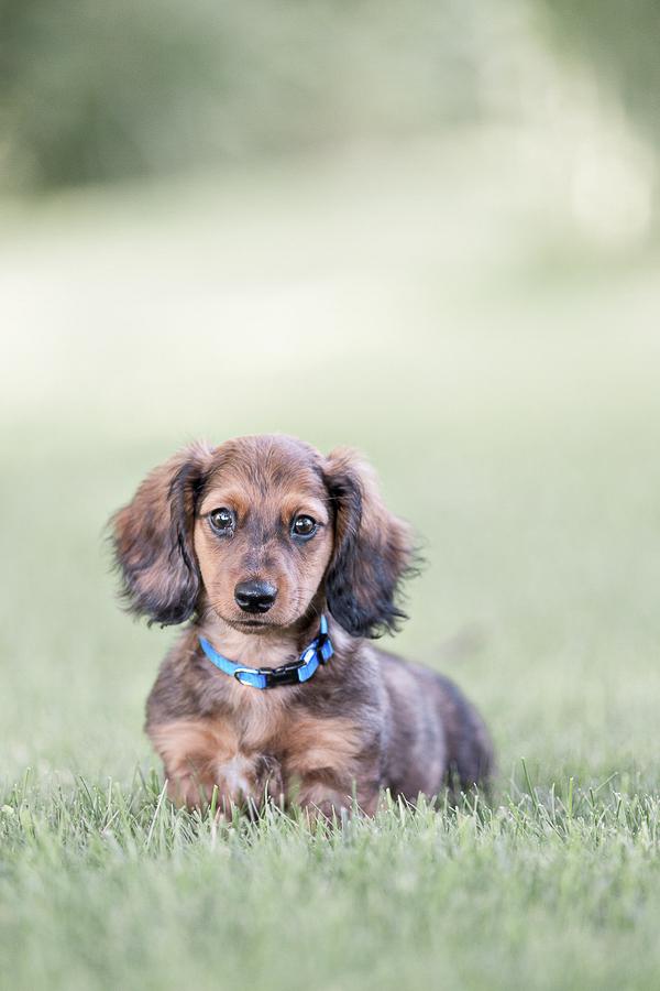 Custom Pet Portraits by Charlene-Doxie puppy--22