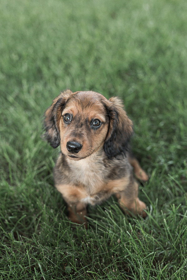 Doxie puppy sitting on grass, lifestyle dog photographer