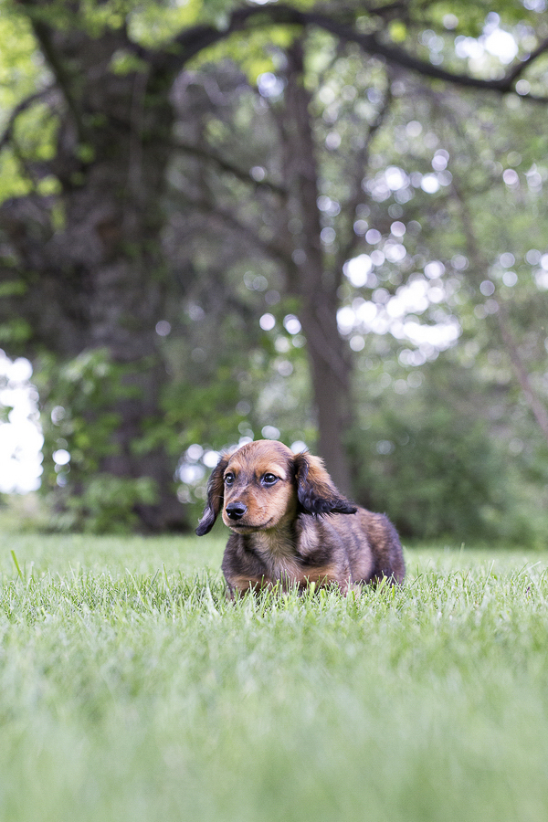 Dachshund puppy in grass, legs are only as long as blades of grass