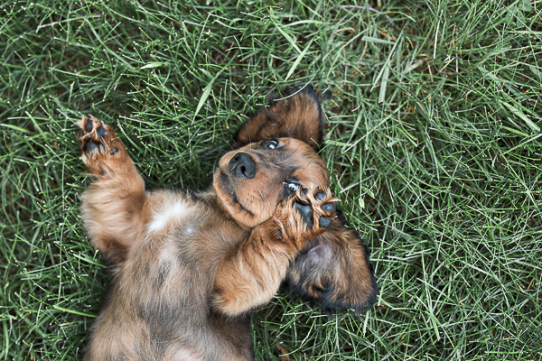 adorable puppy rolling on grass, Dachschund
