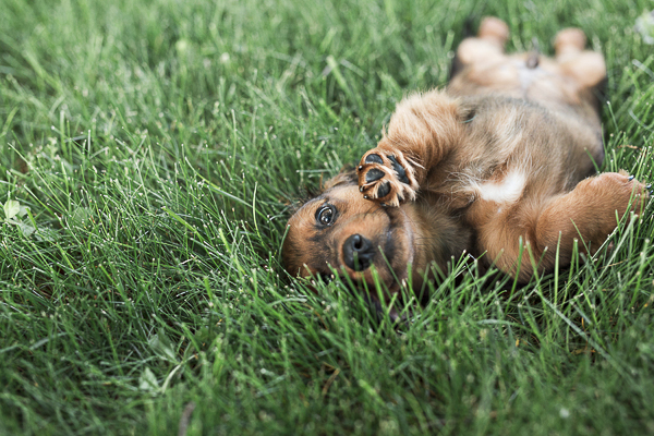 cute Weiner dog pup lying on back in grass