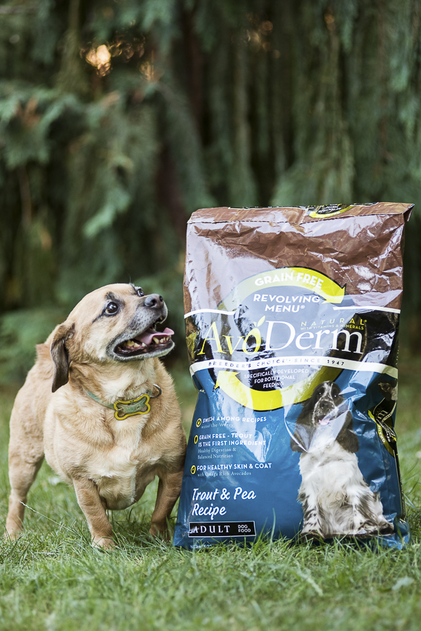 Puggle and bag of Avoderm Dog Food outside, avocado for healthy skin and coat