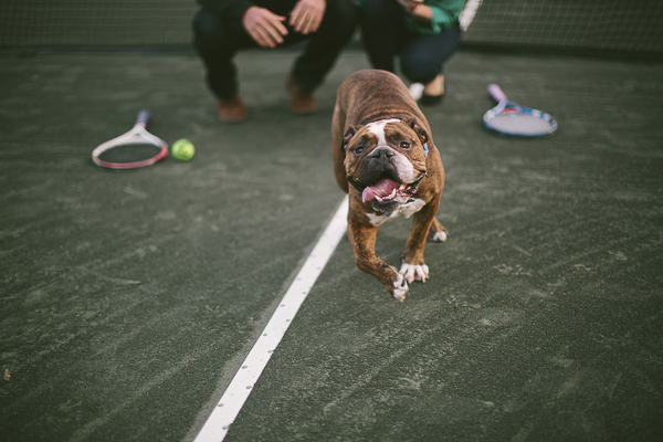 Olde English Bulldog running across tennis court, engagement photos with dogs