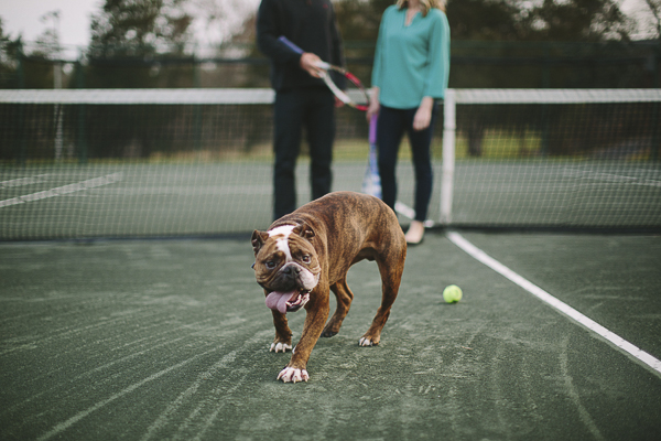 Brindle English Bulldog on tennis court