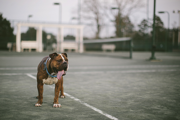 English Bulldog tongue hanging out standing on tennis court