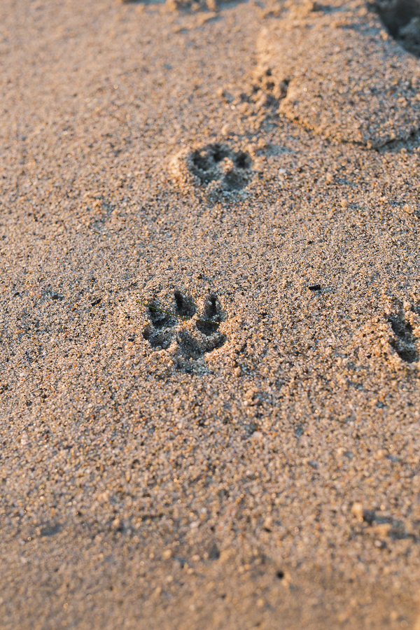 Paw prints on golden sand