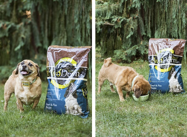 Dog eating Avoderm Dog Food, happy Puggle