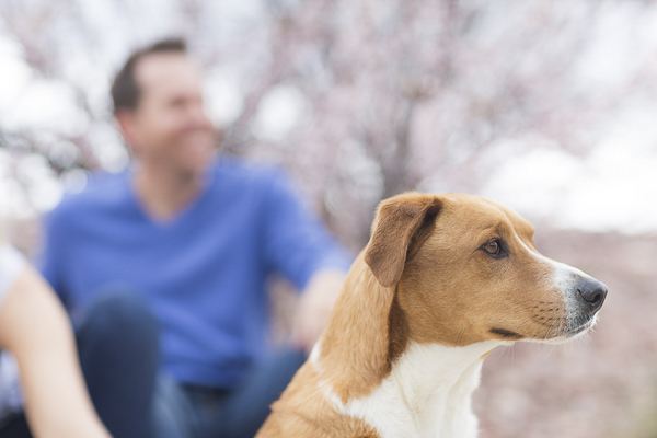 handsome brown white dog sitting outside spring engagement photos, Colorado