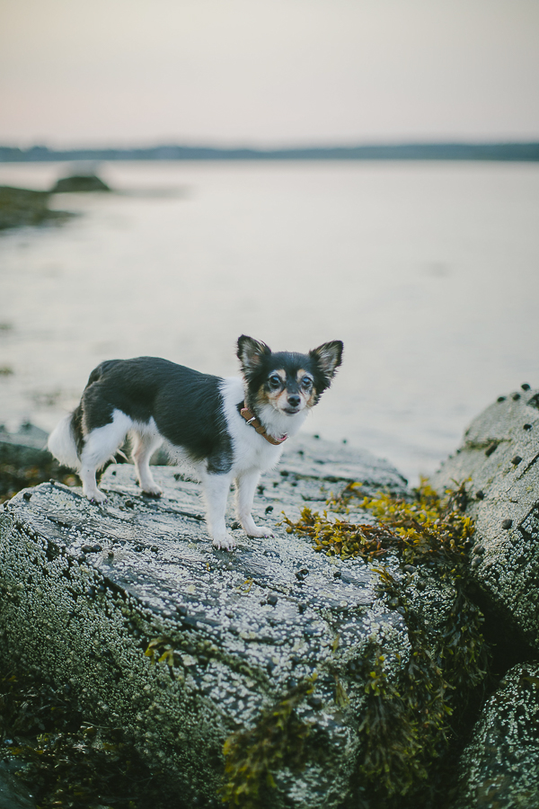 lifestyle dog photography, Papillon Chihuahua mix on rock, Mackworth Island