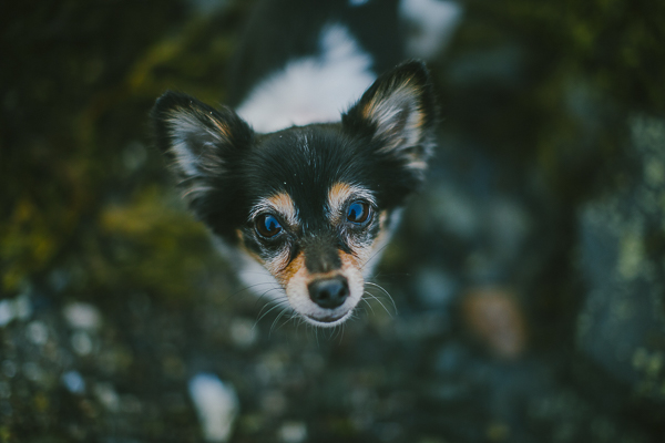 lifestyle dog photography, adorable Papillon Chihuahua mix looking up at camera
