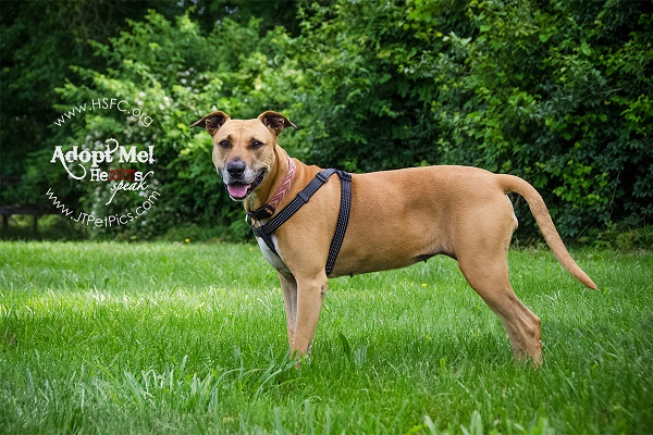 Beautiful brown Staffordshire mix standing in park, adoptable from Humane Society Fairfax County