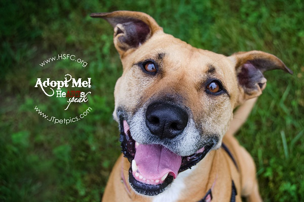 Adoptable brown, white Staffordshire mix smiling