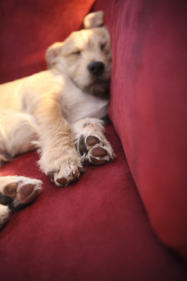 mixed breed puppy sleeping on red sofa