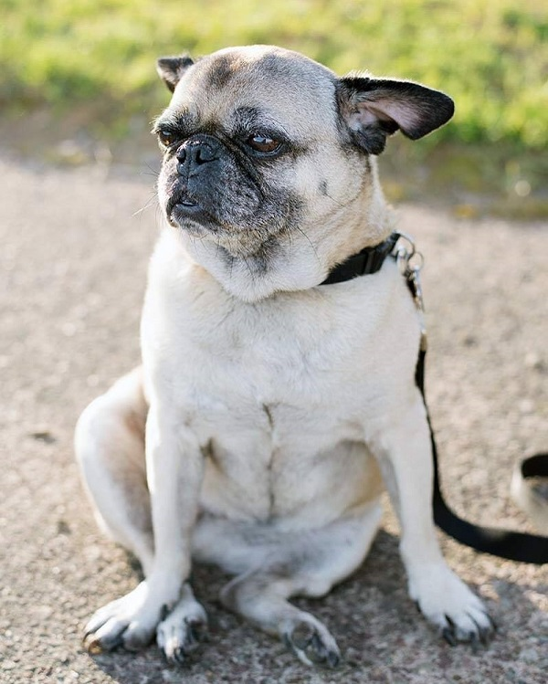 Yoda-Pug, Lulu in the breeze, ©Alice G Patterson Photography