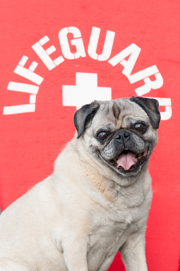Lifeguard Pug, ©Alice G Patterson Photography