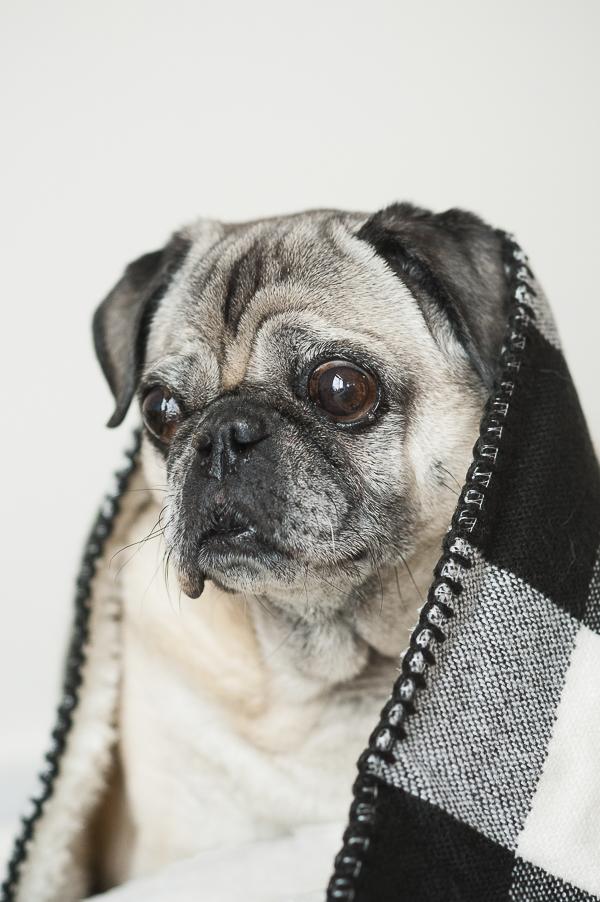 Syracuse dog photographer, Pug in a blanket,