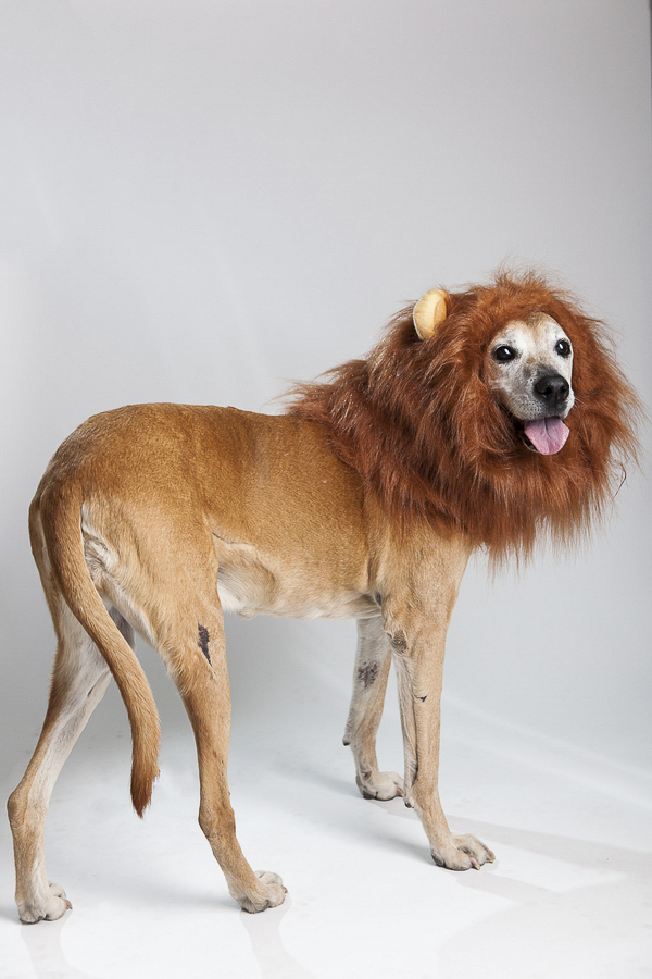 Rhodesian Ridgeback Boxer mix wearing lion mane costume
