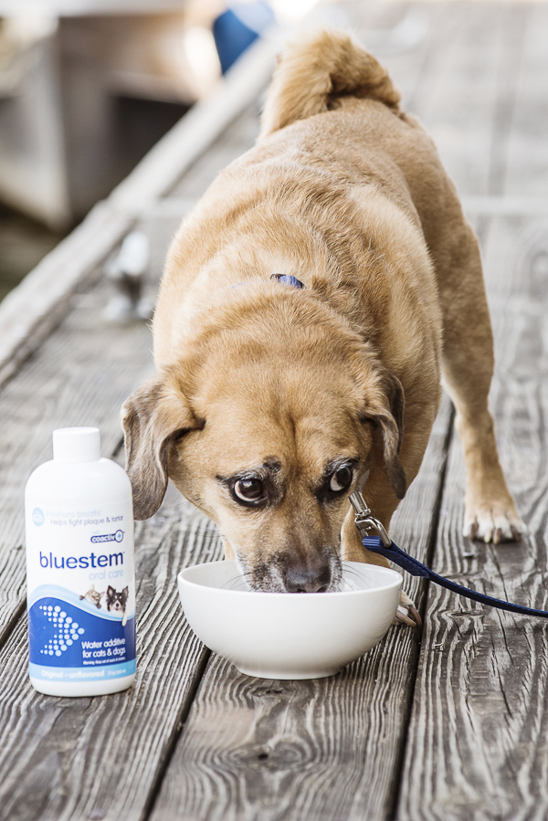 Puggle drinking out of white water bowl, bluestem water additive