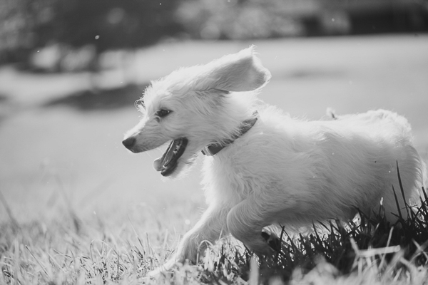 lifestyle puppy photos, puppy running outside
