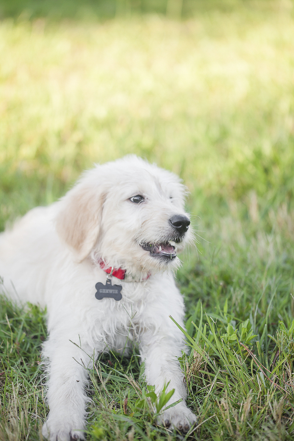 Golden Doodle Puppy on grass,