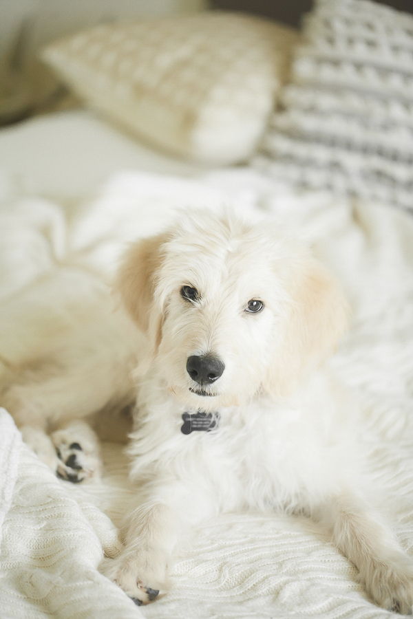 Goldendoodle puppy lying on bed