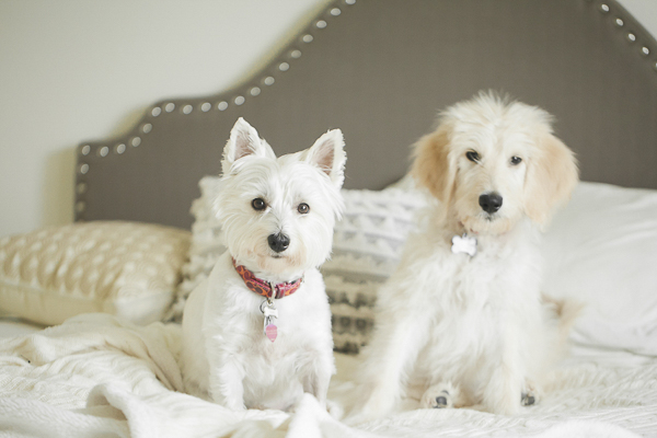 Westie and Goldendoodle puppy on bed