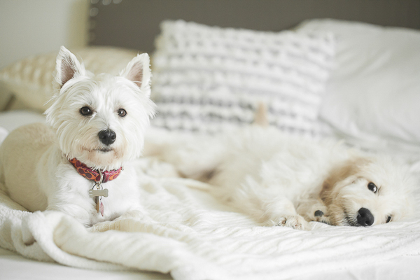 © Casey Hendrickson Photography | lifestyle dog photography, Westie and Goldendoodle puppy lying on bed