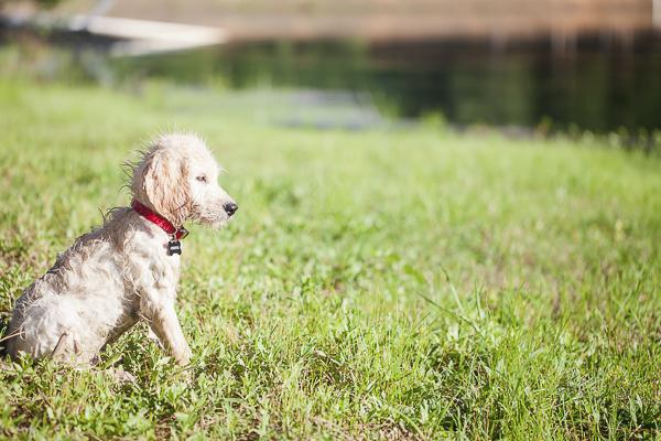 wet Goldendoodle puppy