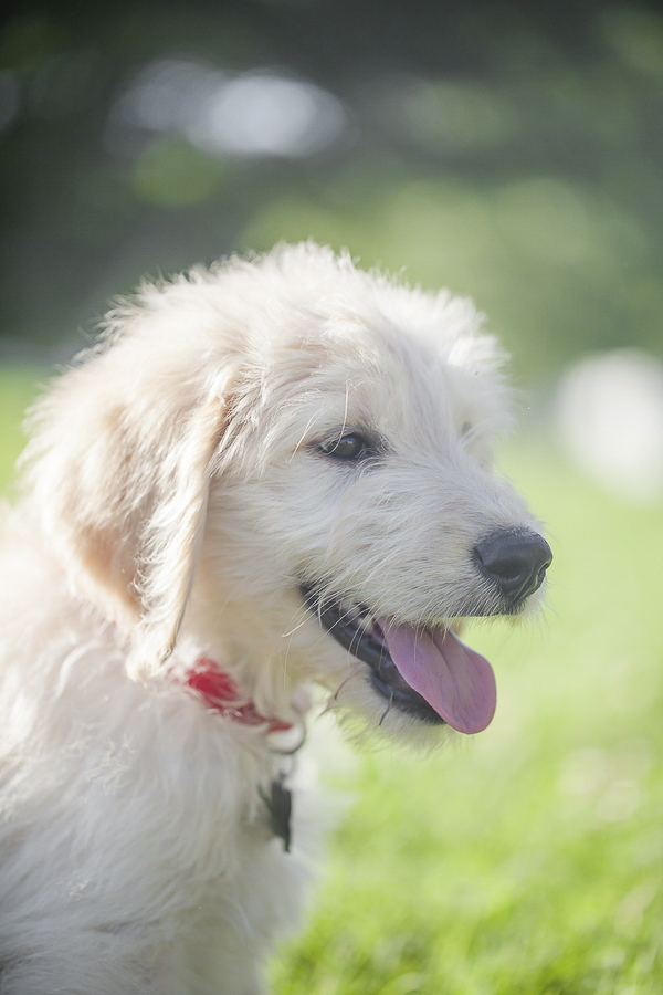 adorable Golden Doodle puppy outside